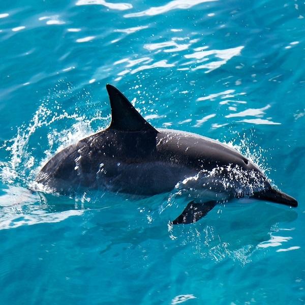 [하와이 현지투어] 돌핀스타 돌고래 관찰 + 점심 + 스노클링 크루즈 이미지