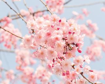 벚꽃 시즌투어 이미지
