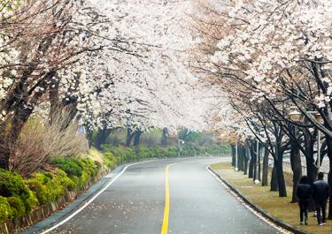 부산 황령산 벚꽃길 이미지