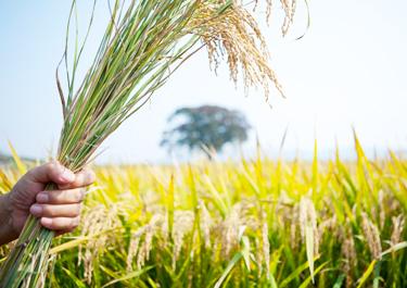 가을 벼 수확 or 고구마캐기 + 전통놀이 이미지